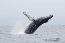 La baleine à bosses